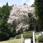 ひよもの桜1