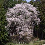 ひよもの桜2